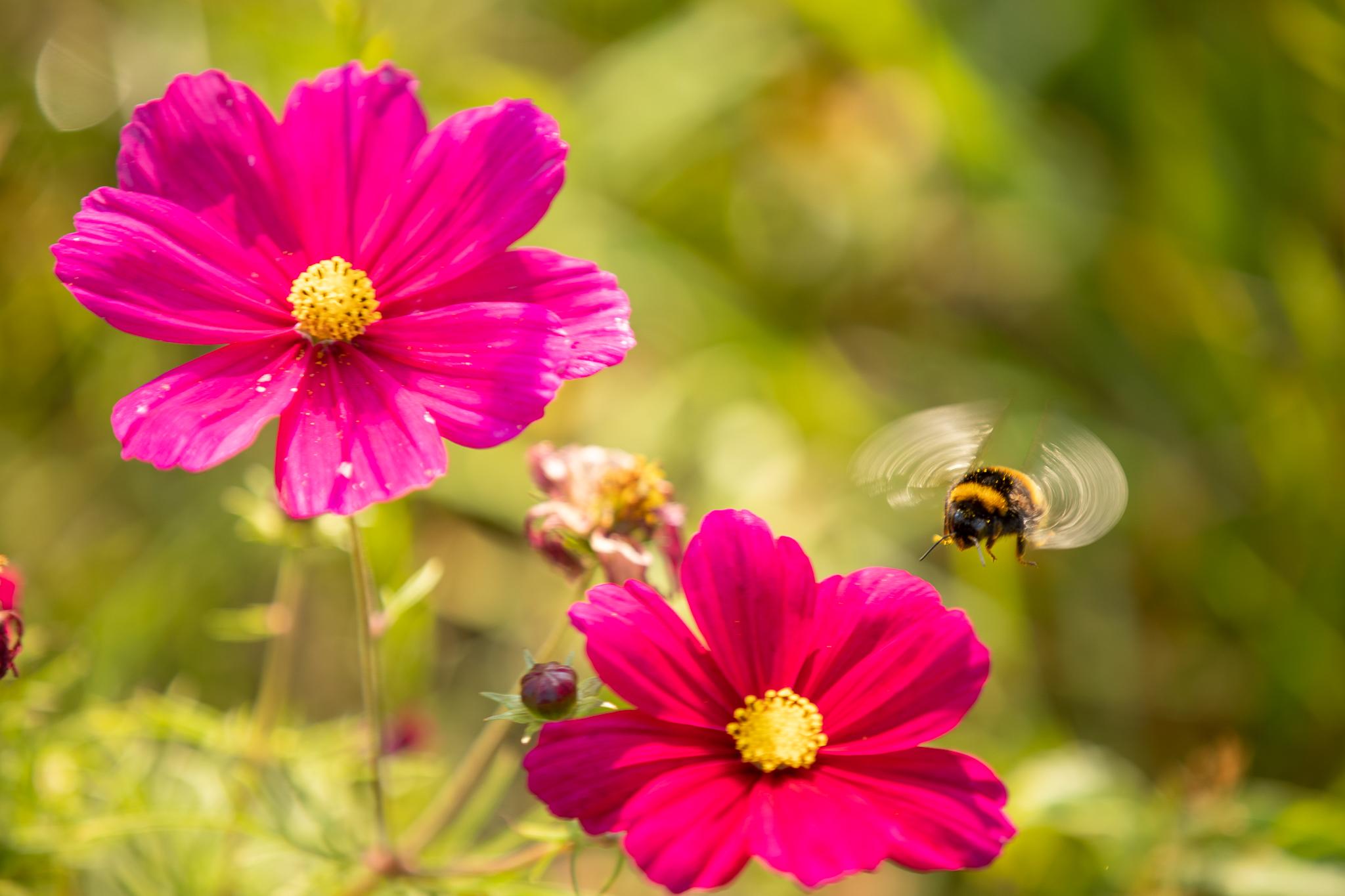 Bijtje in de bloemenweide
